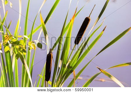 Bulrush In A Beautiful Pond In The Background