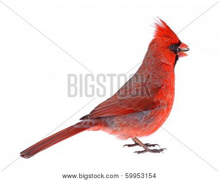 Northern Cardinal Isolated