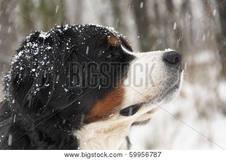 Bernese mountain dog under heavy snow