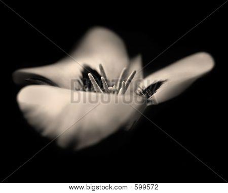 Dream Lily In Sepia