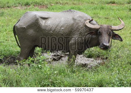 Carabao (National Animal of the Philippines)