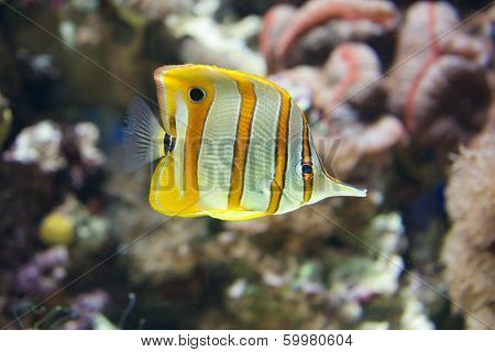 Copperband butterflyfish swimming through a coral reef