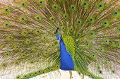 stock photo of saraswati  - A profile view of a male peacock displaying. Male peafowls are distinct for their bright metalic blue crown the fan shaped crest on the head and the elongated upper tail covets on their train made up of eye spot feathers.