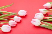 picture of dainty  - Symbolic seasonal spring background of dainty pink tulips with fresh green leaves and copyspace with focus to the flowers - JPG