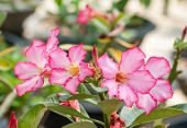 stock photo of desert-rose  - Adenium obesum  - JPG