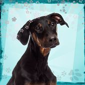 Close-up of a Doberman pinscher puppy on a blue designed background