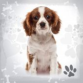 Front view of a Cavalier King Charles Spaniel puppy sitting, looking at the camera, 3 months old, on