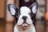 stock photo of french bulldog puppy  - French bulldog puppy portrait - JPG