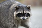 stock photo of raccoon  - Close up portrait of a raccoon staring into the camera - JPG