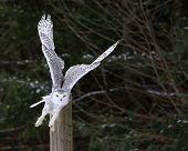 pic of snowy owl  - A Snowy Owl  - JPG