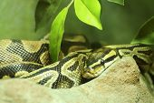 foto of burmese pythons  - Close up Ball python on the wood - JPG