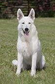 stock photo of swiss shepherd dog  - White Swiss Shepherd is sitting on grass - JPG