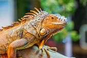 pic of godzilla  - Iguana The green iguana is a large arboreal mostly herbivorous species of lizard of the genus Iguana native to Central South America and the Caribbean - JPG