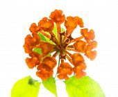 foto of lantana  - orange Lantana Flowers camara is isolated on white background closeup - JPG