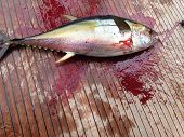 Bloody YellowFin Tuna