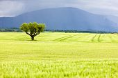 stock photo of plateau  - spring field with a tree - JPG