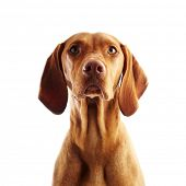 image of hungarian  - Hungarian Vizsla pointer dog on white background - JPG