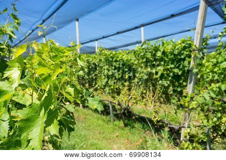 Vineyard With Modern System For Irrigation And Nets Against Hail.