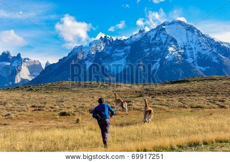 Man Vs Guanacos In Parque Nacional Torres Del Paine, Chile