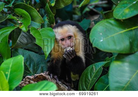 White Faced Capuchin Monkey In Manuel Antonio National Park, Costa Rica