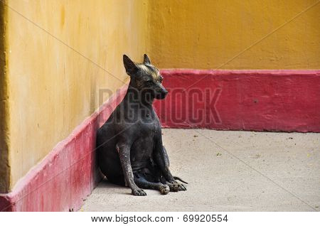Hairless Peru Dog (endemic), Huaca De La Luna, Peru