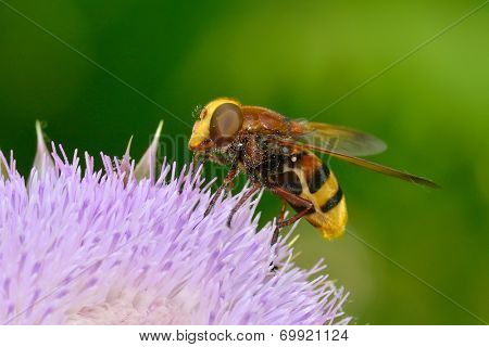 Hornet mimic hoverfly (Volucella zonaria) in natural habitat
