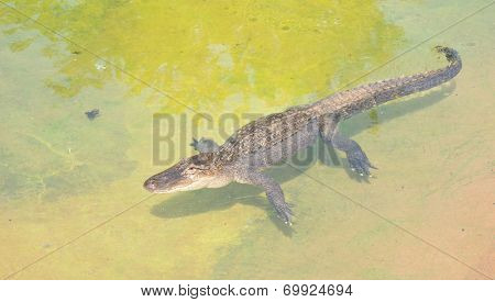 American alligator, Alligator mississippiensis, basking in a shallow pool of water