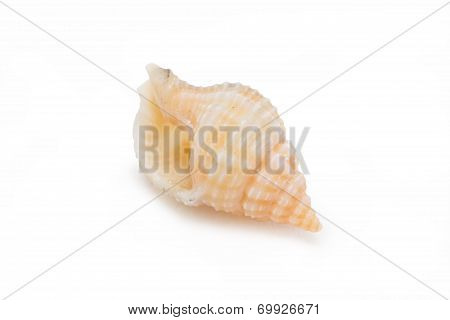 Sea Shells Isolated On White Background.
