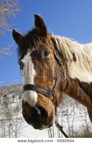 Horse Wearing Halter
