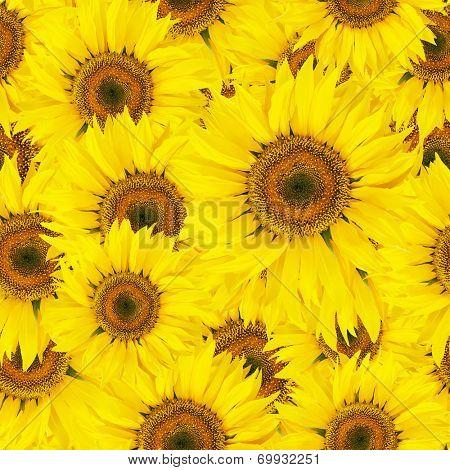 Seamless sunflower background