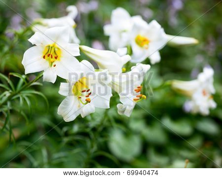 White Easter Lily flowers in a garden
