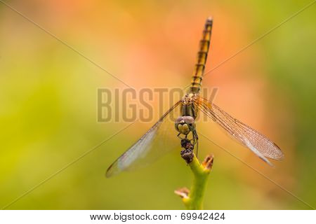 Wandering Glider Dragonfly On A Stem Extreme Close Up