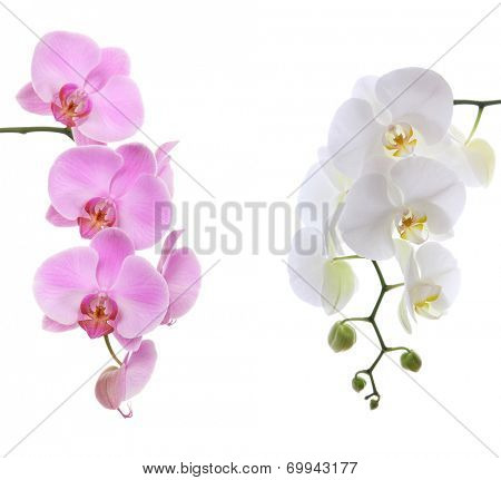 Pink ans white delicate orchid isolated on white background