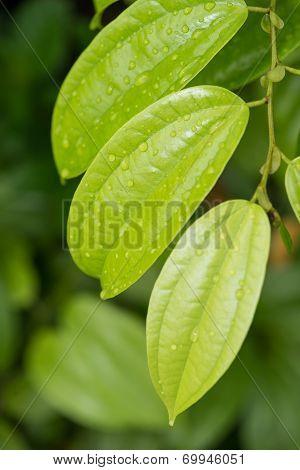 Raindrops On The Cinnamon Leaves Close Up