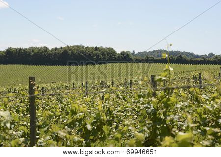 Vineyard In Surrey. England