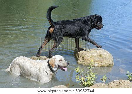 Rottweiler And Labrador