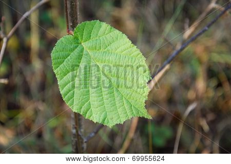 Last Green Hazel Leaf