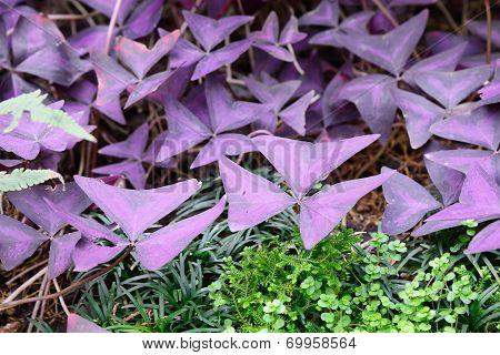 Closeup Of Leaves Of Oxalis Triangularis