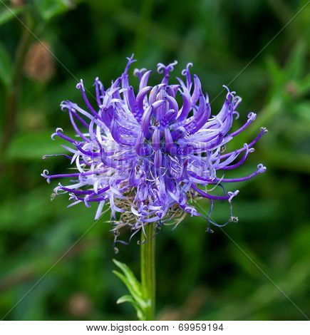 Round Headed Rampion