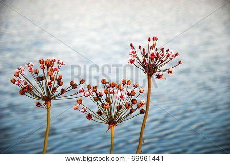 Shiny Flowering Rushes