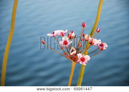 Flowering Rush Closeup