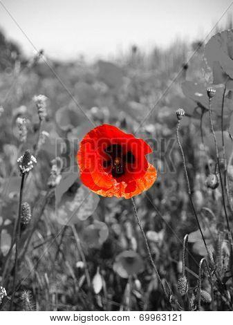 A poppy in the Fields of flanders