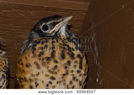 Young Robin In The Nest