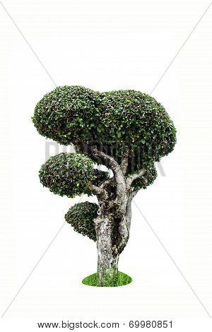 Streblus asper, toothbrush tree isolated background