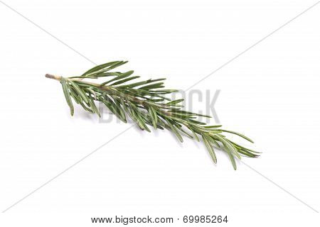 Twig Of Rosemary Isolated On White Background.