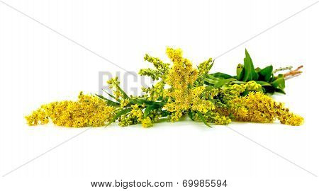 Solidago Canadensis Or Canada Golden-rod Or Canada Goldenrod