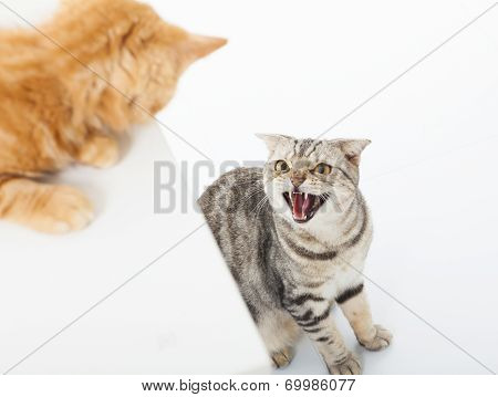 Closeup Of Two Cats In A Conflict Over  White Background