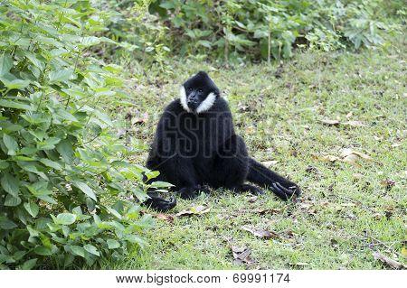 Black Handed Gibbon