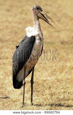 Masai Mara Marabou Stork