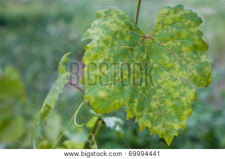 Grape Leaf Disease